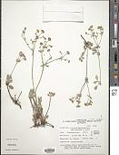 view Eriogonum umbellatum Torr. var. umbellatum digital asset number 1