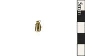 view Striped Cucumber Beetle digital asset number 1