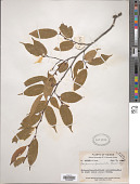 view Carpinus londoniana var. lanceolata P.C. Li digital asset number 1