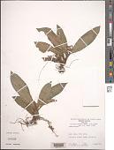 view Floscopa robusta (Seub.) C.B. Clarke digital asset number 1