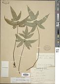 view Calciphilopteris ludens (Wall. ex Hook.) Yesilyurt & H. Schneid. digital asset number 1