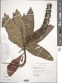 view Escallonia pendula (Ruiz & Pav.) Pers. var. pendula digital asset number 1