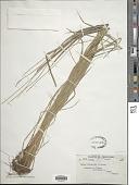 view Carex petelotii R. Gross digital asset number 1