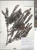 view Diospyros lokohensis (H. Perrier) G.E. Schatz & Lowry digital asset number 1