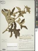 view Solanum lanceolatum Berthault, nom. illeg. digital asset number 1