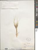 view Stipellula capensis (Thunb.) Röser & H. R. Hamasha digital asset number 1