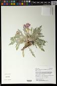 view Oenothera cespitosa subsp. crinita (Rydb.) Munz digital asset number 1