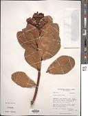 view Persea mutisii Kunth digital asset number 1