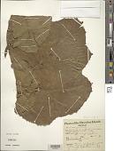 view Gunnera petaloidea Gaudich. digital asset number 1