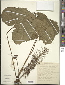 view Gunnera macrophylla Blume digital asset number 1