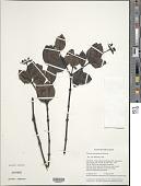 view Palicourea ayangannensis (Steyerm.) Delprete & J.H. Kirkbr. digital asset number 1