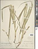 view Carex sparganioides Muhl. ex Willd. digital asset number 1