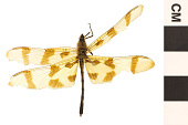 view Halloween Pennant, Common Skimmer digital asset number 1