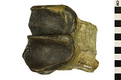 view Brontothere Fossil, Brontotherium digital asset number 1