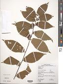 view Melochia ulmifolia Benth. digital asset number 1