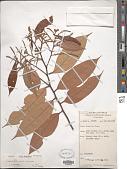 view Lithocarpus vinkii Soepadmo digital asset number 1