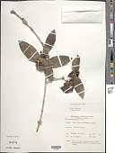 view Ixora marquesensis F. Br. digital asset number 1