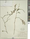 view Hypoestes verticillaris (L. f.) Sol. digital asset number 1