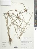 view Cyperus echinatus (L.) Alph. Wood digital asset number 1