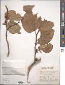 view Ficus melinocarpa digital asset number 1