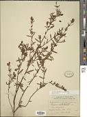 view Ascyrum hypericoides var. hypericoides L. digital asset number 1