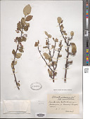 view Cotoneaster melanocarpus Lodd., G. Lodd. & W. Lodd. digital asset number 1
