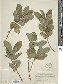 view Lonicera oblongifolia Hook. digital asset number 1