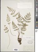 view Cystopteris diaphana (Bory) Blasdell x C. fragilis (L.) Bernh. digital asset number 1