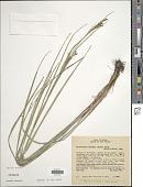 view Rhynchospora velutina (Kunth) Boeckeler digital asset number 1