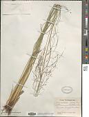 view Coleataenia longifolia (Torr.) Soreng digital asset number 1