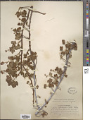view Ribes erythrocarpum Coville & Leiberg digital asset number 1