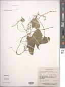 view Dioscorea densiflora Hemsl. digital asset number 1