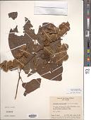 view Dioscorea polygonoides Humb. & Bonpl. ex Willd. digital asset number 1