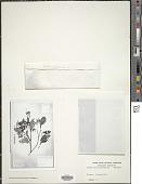 view Axinaea quitensis Benoist digital asset number 1
