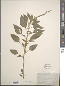 view Amaranthus dubius Mart. ex Thell. digital asset number 1