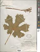 view Cnidoscolus sinaloensis Breckon digital asset number 1