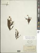 view Tetramolopium humile subsp. haleakalae Lowrey digital asset number 1