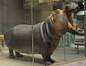 view Hippopotamus amphibius kiboko digital asset number 1