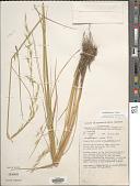 view Amphibromus neesii Steud. digital asset number 1