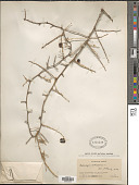 view Asparagus aethiopicus L. digital asset number 1