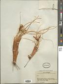 view Iris tenuifolia Pall. digital asset number 1