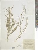 view Crotalaria aegyptiaca digital asset number 1