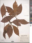 view Ficus erythrosperma Miq. digital asset number 1