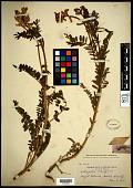 view Astragalus menziesii A. Gray digital asset number 1