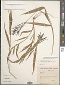view Urochloa fusca (Sw.) B.F. Hansen & Wunderlin digital asset number 1