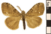view White-marked Tussock Moth, Tussock Moth digital asset number 1