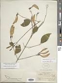 view Coutarea hexandra (Jacq.) K. Schum. digital asset number 1