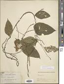 view Cochliasanthus caracalla (L.) Trew digital asset number 1