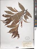 view Castanea japonica Blume digital asset number 1