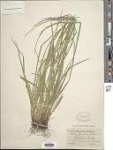 view Carex jamesii Schwein. digital asset number 1